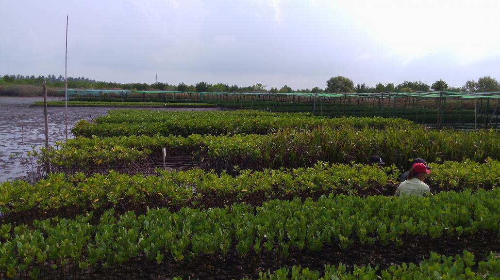 Nursery für Mangroven im Thor Heyerdahl Climate Park. Für Klimaschutz.