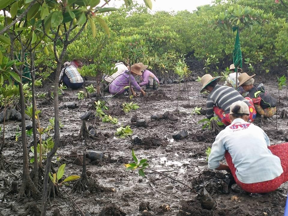 Mangrovensetzlinge werden gepflanzt.
